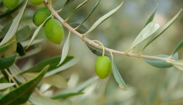 L'olio d'oliva extra vergine greco